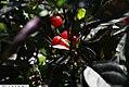 Capsicum annuum Black Pearl 3zz.jpg