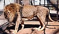 Captive lion at a breeding center.jpg