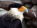 Caracara cheriway - Antwerp Zoo.jpg