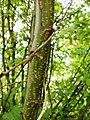 Caragana arborescens f004.jpg