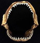 Carcharhinus melanopterus jaws