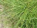 Carex spicata plant (1).jpg