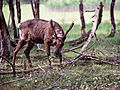 Caribou (7978157078).jpg