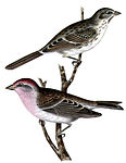 Carpodacus cassinii.jpg