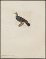 Carpophaga vitiensis - 1820-1860 - Print - Iconographia Zoologica - Special Collections University of Amsterdam - UBA01 IZ15600133.tif