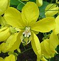 Cassia - flower (11569387105).jpg