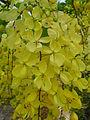 Cassia fistula-flower.JPG