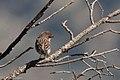 Cassin's Finch (male) Rustler Park Chiricahuas AZ 2017-10-10 14-31-39 (37030917084).jpg