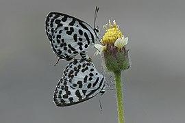 Castalius rosimon 6205.jpg