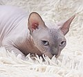 Cat - Sphynx. img 001.jpg
