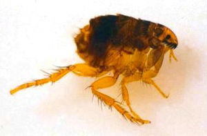Catflea small.jpg