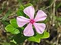 Catharanthus roseus (Madagascar periwinkle) (Sanibel Island, Florida, USA) 2 (25678132905).jpg