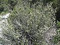 Ceanothus greggii 10.jpg