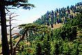 Cedar Tree (Khenchla).jpg