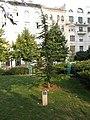 Cedar of Lebanon, Tivadar Csontváry Kosztka memorial tree, 2018 Lágymányos.jpg