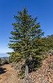 Cedrus brevifolia on Mt Tripylos, Troodos Mountains, Cyprus.jpg