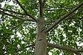 Ceiba (Ceiba pentandra) (14530367656).jpg