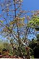 Ceiba erianthos - Naples Botanical Garden - Naples, Florida - DSC09706.jpg