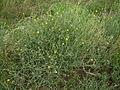 Centaurea solstitialis plant4 (12094467063).jpg