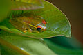 Central Bright-eyed Frog (Boophis rappiodes) (10313867854).jpg