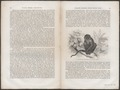 Cercocebus fuliginosus - 1700-1880 - Print - Iconographia Zoologica - Special Collections University of Amsterdam - UBA01 IZ19900149.tif