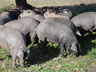 Black Iberian pig - Iberian pigs in Extremadura, Spain