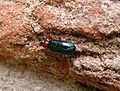 Cereal Leaf Beetle. Chrysomelidae. Oulema melanopus or rufocyanea - Flickr - gailhampshire.jpg