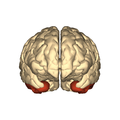 Cerebrum - inferior temporal gyrus - anterior view.png