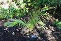 Ceroxylon quindiuense - San Francisco Botanical Garden - DSC09840.JPG