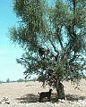 Chèvre arbre Tiout.jpg