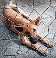 Chó cậu Cảm ở Đông Hà Phường 1.jpg
