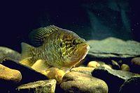 Chaenobryttus gulosus 2.jpg
