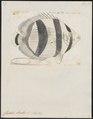Chaetodon striatus - 1700-1880 - Print - Iconographia Zoologica - Special Collections University of Amsterdam - UBA01 IZ13100135.tif