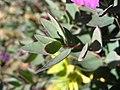 Chamerion latifolium upernavik 2007-08-06 3.jpg