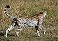 Cheetah (8352321548).jpg