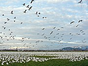 A Snow Goose gaggle may contain thousands.