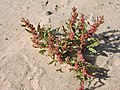 Chenopodium acerifolium-MW0201116-live.jpg
