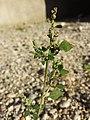 Chenopodium vulvaria sl59.jpg