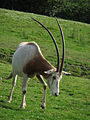 Chester zoo scimitar-horned oryx.jpg