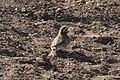 Chestnut-collared Longspur & Horned Lark Davis Pasture Sonoita AZ 2018-01-26 11-34-26 (25073353667).jpg
