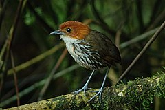 240px chestnut crowned antpitta 2015 06 08 (1) (39426063735)