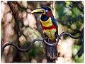 Chestnut-eared Aracari, Pantanal, Brazil (29409526127).jpg