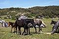 Chevaux - خيول - panoramio (6).jpg