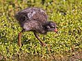 Chick of common moorhen.jpg