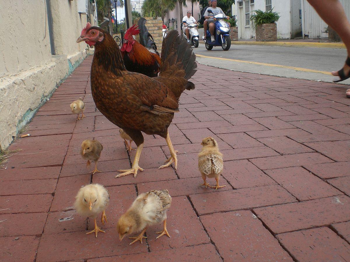 Chicken Grand Island Ne
