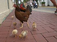 A free roaming bantam chicken family of rooster, hen and six chicks as seen on the streets of downtown Key West, Florida