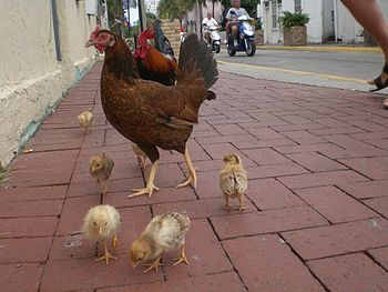 English: Free roaming chicken family in Bahama...