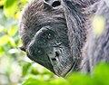 Chimpanzee uganda.jpg