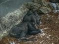 Chimps at Taronga Zoo.png
