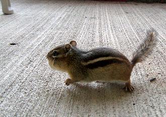 Cheek pouch - Chipmunk showing the cheek pouch